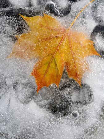 Field Maple Leaf Frozen in Ice, Cornwall, Uk. October