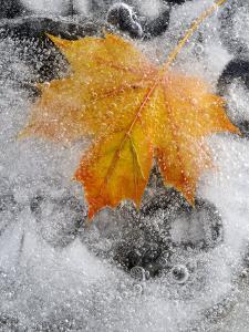Field Maple Leaf Frozen in Ice, Cornwall, Uk. October by Ross Hoddinott