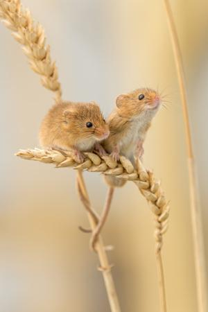 Harvest Mice (Micromys Minutus) On Wheat Stems, Devon, UK
