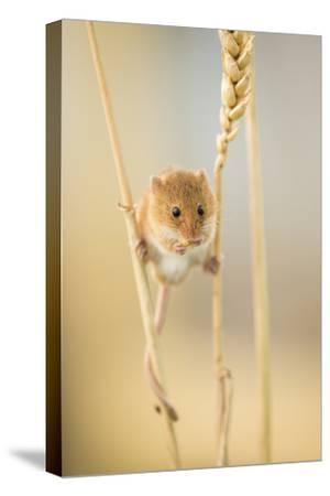 Harvest Mouse (Micromys Minutus) On Wheat Stem Feeding, Devon, UK, July. Captive