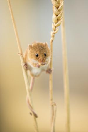 Harvest Mouse (Micromys Minutus) On Wheat Stem Feeding, Devon, UK, July. Captive by Ross Hoddinott