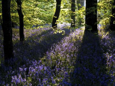 Lanhydrock Beech Woodland with Bluebells in Spring, Cornwall, UK
