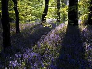 Lanhydrock Beech Woodland with Bluebells in Spring, Cornwall, UK by Ross Hoddinott