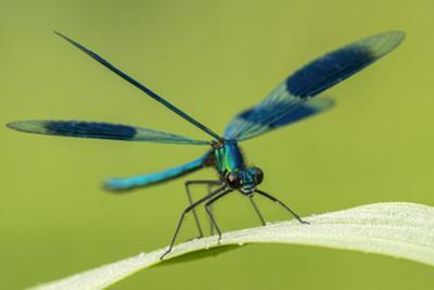 Male Banded Demoiselle (Calopteryx Splendens), Resting On Reed, Lower Tamar Lakes