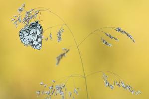 Marbled White Butterfly (Melanargia Galathea) Resting On Grass, Dunsdon Nature Reserve, Devon by Ross Hoddinott