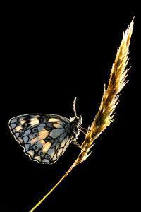 Marbled White Butterfly (Melanargia Galathea) Resting on Grass Stem, Devon, UK by Ross Hoddinott