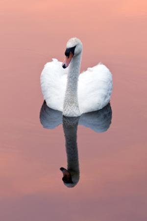 Mute Swan (Cygnus Olor) on Water with Reflection, Shapwick Heath Nr, Somerset Levels, Somerset, UK by Ross Hoddinott