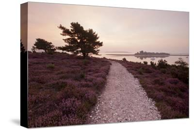 Path Running Through Common Heather, with Brownsea Island, Arne Rspb, Dorset, England, UK