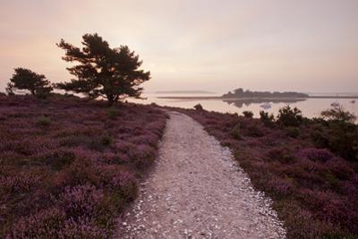 Path Running Through Common Heather, with Brownsea Island, Arne Rspb, Dorset, England, UK by Ross Hoddinott