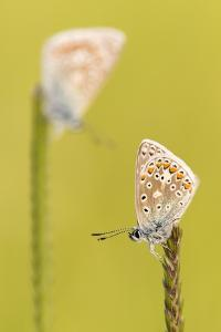 RF - Common blue butterflies resting on a backlit grass, Vealand Farm, Devon, UK by Ross Hoddinott
