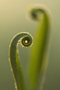 RF - Harts tongue fern (Asplenium scolopendrium) leaf unfurling, Broxwater, Cornwall, UK by Ross Hoddinott