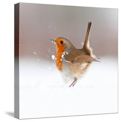 Robin (Erithacus Rubecula) Displaying in Snow, Nr Bradworthy, Devon, UK
