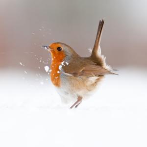 Robin (Erithacus Rubecula) Displaying in Snow, Nr Bradworthy, Devon, UK by Ross Hoddinott