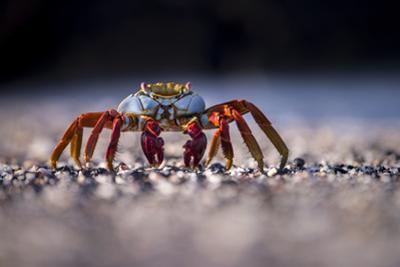 Sally Lightfoot Crab (Grapsus Grapsus) On Beach, Isabela Island, Galapagos, Ecuador. May by Ross Hoddinott