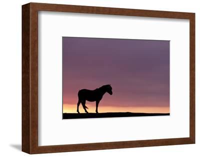 Silhouetted Dartmoor Pony (Equus Caballus) at Sunrise, Combestone Tor, Dartmoor Np, Devon, UK