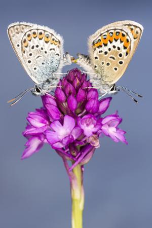 Silver-Studded Blue Butterfly (Plebejus Argus) Pair Mating by Ross Hoddinott