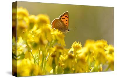 Small Copper (Lycaena Phlaeas) Butterfly Resting on Common Ragwort (Senecio Jacobaea) Dorset, UK
