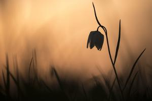 Snakes head fritillary in flower, sillouetted, Wiltshire, UK by Ross Hoddinott