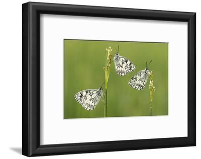 Three Marbled White Butterflies (Melanargia Galathea) Resting On Reeds, Devon, UK, July