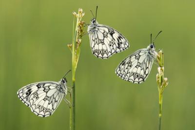 Three Marbled White Butterflies (Melanargia Galathea) Resting On Reeds, Devon, UK, July by Ross Hoddinott