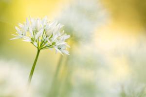 Wild garlic close-up, Combe Valley, Cornwall, UK by Ross Hoddinott