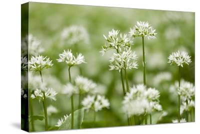 Wild Garlic - Ramsons (Allium Ursinum) Flowering in Woodland, Cornwall, England, UK, May