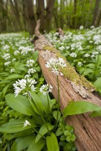 Wild Garlic - Ramsons (Allium Ursinum) Flowering in Woodland, Cornwall, England, UK, May by Ross Hoddinott