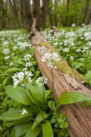 Wild Garlic - Ramsons (Allium Ursinum) Flowering in Woodland, Cornwall, England, UK, May