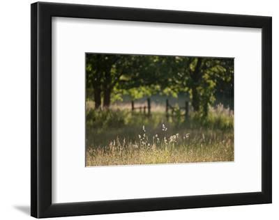 Wildlife Rich Hay Meadow, Early Morning Light in Summer, Lampeter, Wales, UK. June