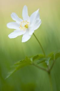 Wood anemone flower, Halsdon woodland, Devon, England by Ross Hoddinott