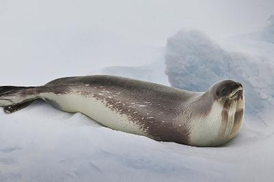 Ross Sea, Antarctica. Rare Ross Seal-Janet Muir-Photographic Print