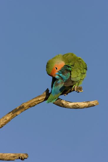 Rosy Faced Lovebird Preening--Photographic Print