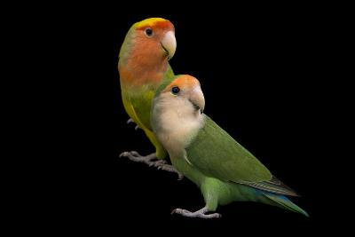 Rosy-Faced Lovebirds, Agapornis Roseicollis, at the Lowry Park Zoo-Joel Sartore-Photographic Print