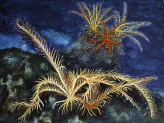 Rosy Feather Star (Antedon Bifida), Antedonidae, Drawing--Giclee Print