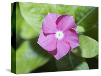 Rosy Periwinkle (Catharanthus Roseus), the Source of an Anti-Cacer Drug