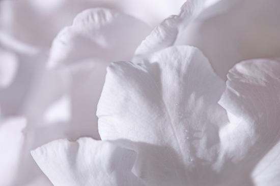 Rosy Petals II-Rita Crane-Photographic Print
