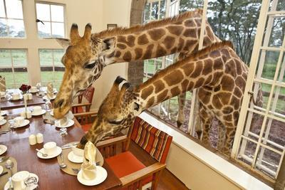 https://imgc.artprintimages.com/img/print/rothschild-giraffes-with-heads-through-a-window-eating-from-a-table_u-l-pil8800.jpg?p=0