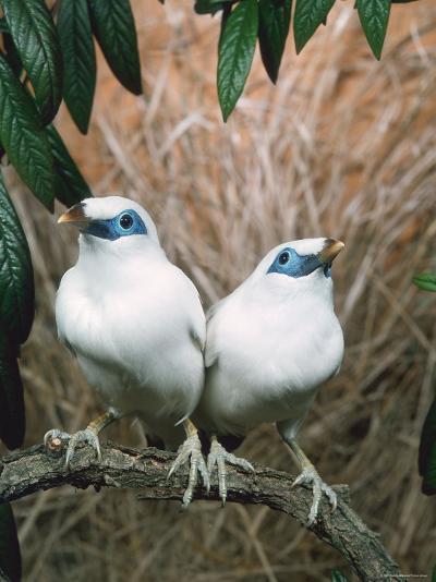 Rothschild's / Bali Mynah Birds (Leucopsar Rothschildi)-Reinhard-Photographic Print
