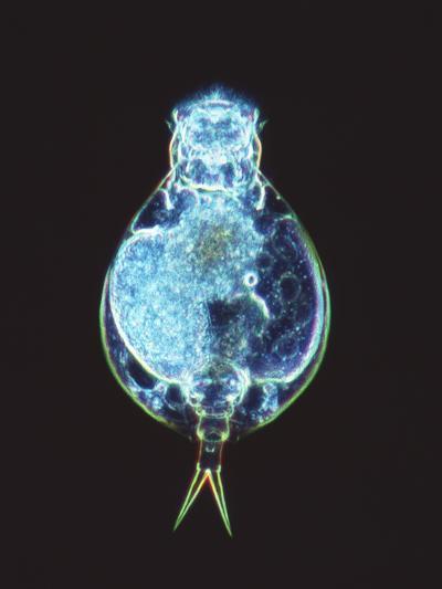Rotifer Worm, Light Micrograph-Laguna Design-Photographic Print
