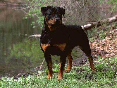 https://imgc.artprintimages.com/img/print/rottweiler-dog-in-woodland-usa_u-l-q10nymk0.jpg?p=0