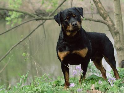 https://imgc.artprintimages.com/img/print/rottweiler-dog-in-woodland-usa_u-l-q10nyq30.jpg?p=0