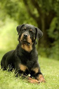 Rottweiler Dog Lying on Grass