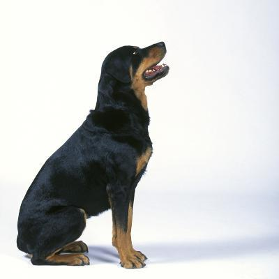 Rottweiler--Photographic Print