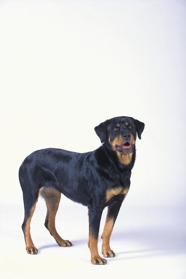 Rottweiler-DLILLC-Photographic Print