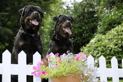 Rottweilers Looking over Fence--Photographic Print