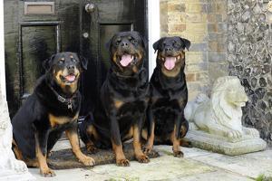 Rottweilers Sitting by Door