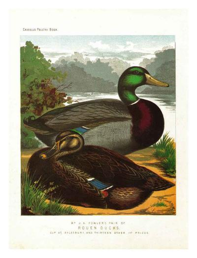 Rouen Ducks--Art Print