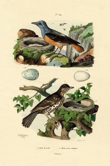 Roufus-Tailed Rock-Thrush, 1833-39--Giclee Print