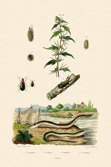 Rough Cockleburr, 1833-39--Giclee Print