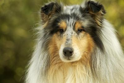Rough Collie Dog--Photographic Print